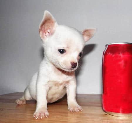 chihuahua cachorro macho