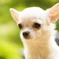 nombres para perros chihuahua