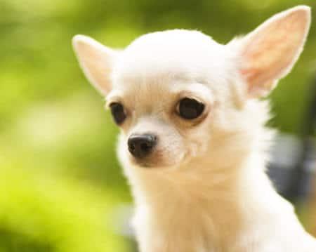 Nombres Para Perros Chihuahua 161 161 Muy Originales