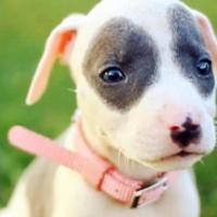 nombres para perros pitbull